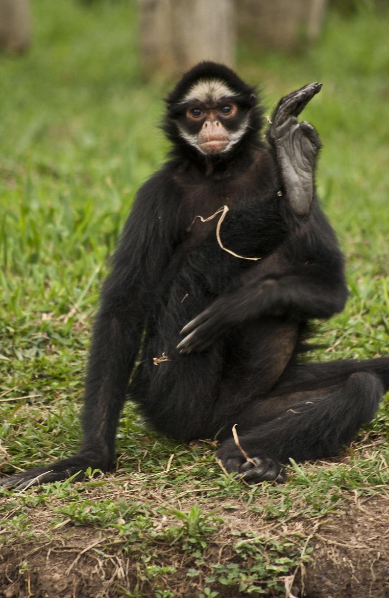 [Aventura]: Os Escolhidos - Página 6 Zoo-Ctba-Macaco-aranha-4