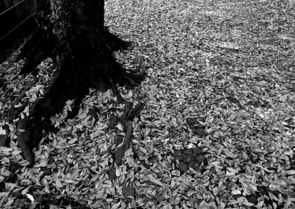 linafolhasárvore