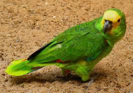 papagaioverde