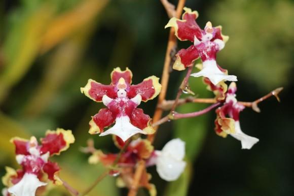 adrianaorquídea